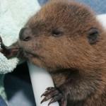 baby-beaver